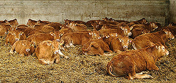 Breeding cattle and calves